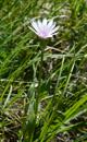 Crepide dei Dinari/Crepis froelichiana subsp. dinarice