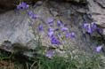 Campanule à feuilles rondes/Campanula rotundifolia