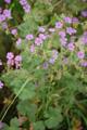 Rundblättriger Storchenschnabel/Geranium rotundifolium