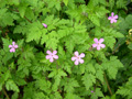 Ruprechtskraut/Geranium robertianum