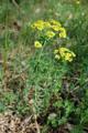 Rutenförmige Wolfsmilch/Euphorbia virgata