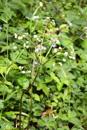 Erba fragolina/Sanicula europaea