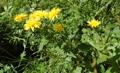 Savoyer Habichtskraut/Hieracium sabaudum