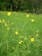 Ranuncolo comune/Ranunculus acris