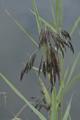 Schilf/Phragmites australis