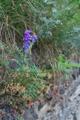 Vesce à feuilles grêles/Vicia cracca ssp. tenuifolia