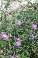 Centaurée à feuilles étroites/Centaurea jacea ssp. augustifolia