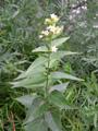 Vincetossico comune/Vincetoxicum hirundinara