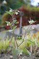 Schwarzer Nachtschatten/Solanum nigrum