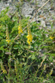 Cytise noircissant/Cytisus nigricans