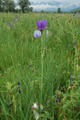Iris de Sibérie/Iris sibirica