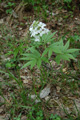 Siebenblättrige Zahnwurz/Cardamine heptaphylla