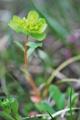 Sonnenwend-Wolfsmilch/Euphorbia helioscopia