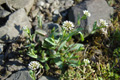 Stängelumfassendes Täschelkraut/Thlaspi perfoliatum