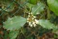 Stechpalme/Ilex aquifolium