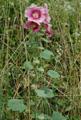 Malvone rosea/Alcea rosea