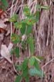 Süsse Wolfsmilch/Euphorbia dulcis