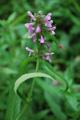 Epiaire des marais/Stachys palustris