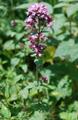 Thym faux pouliot/Thymus pulegioides