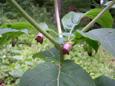 Belladonna/Atropa belladonna
