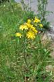 Crépide rongée/Crepis praemorsa