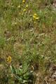 Epervière en grappe/Hieracium racemosum
