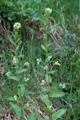 Arabetta maggiore/Arabis turrita