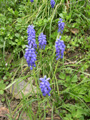 Kleine Traubenhyazinthe/Muscari botryoides