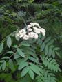 Vogelbeerbaum/Sorbus aucuparia
