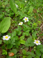 Wald- Erdbeere/Fragaria vesca