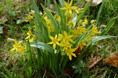 Cipollaccio stellato-/Gagea lutea