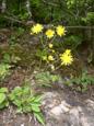 Sparviere dei boschi/Hieracium murorum