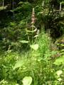 Epiaire des forêts/Stachys sylvatica