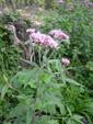 Wasserdost/Eupatorium cannabinum