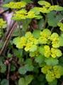Wechselblättriges Milzkraut/Chrysosplendium alternifolium