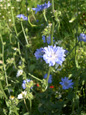 Wegwarte/Cichorium intybus