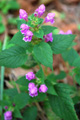Canapetta pubescente/Galeopsis pubescens