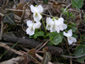 Weisses Veilchen/Viola alba