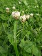 Trifoglio bianco, Trifoglio ladino/Trifolium repens