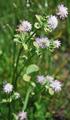 Trèfle renversé/Trifolium resupinatum