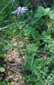 Laitue délicate/Lactuca tenerrima