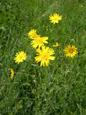Salsifis des prés/Tragopogon pratensis