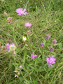 Fiordaliso stoppione/Centaurea jacea
