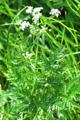 Wiesen-Kerbel/Anthriscus sylvestris