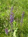 Sauge des prés/Salvia pratensis