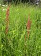 Romice acetosa, Erba brusca/Rumex acetosa