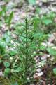 Equiseto pratense/Equisetum pratense