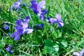 Viola mammola/Viola odorata