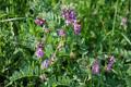 Vesce des haies/Vicia sepium