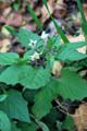 Zierlicher Nachtschatten/Solanum sublobatum, chenopodioides